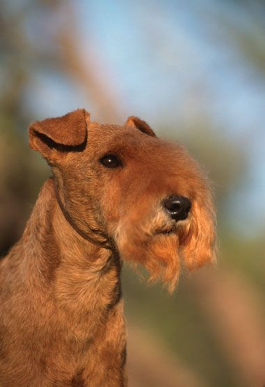Lakeland Terrier Lakeland Terrier In 2020 Lakeland Terrier Terrier Dogs Dog Breeds