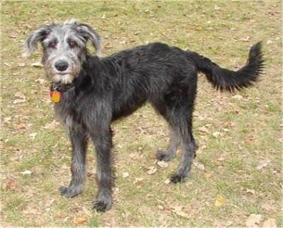 ... Labradoodle Dog Breed Picture ...