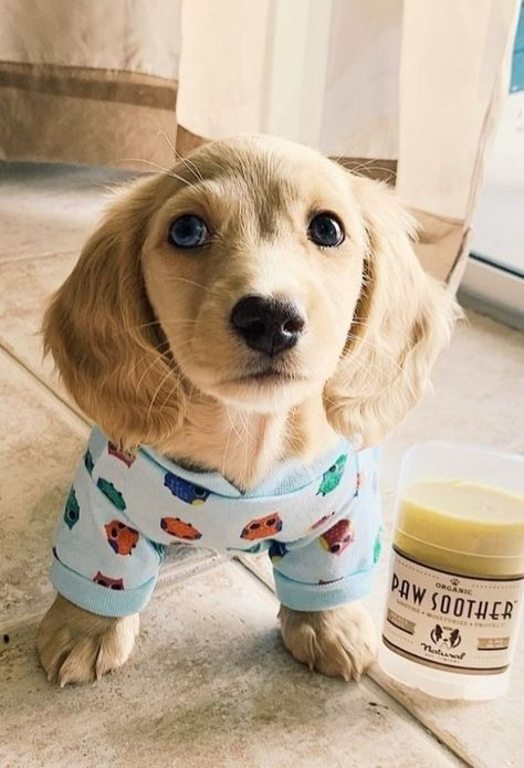 This is a list of cutest dogs which always attract people who love animal. Dachshund Bonus will introduce you a list of cutest dogs based on their appearance and personalities and guess where dachshunds are #Retriever #Labrador #dog