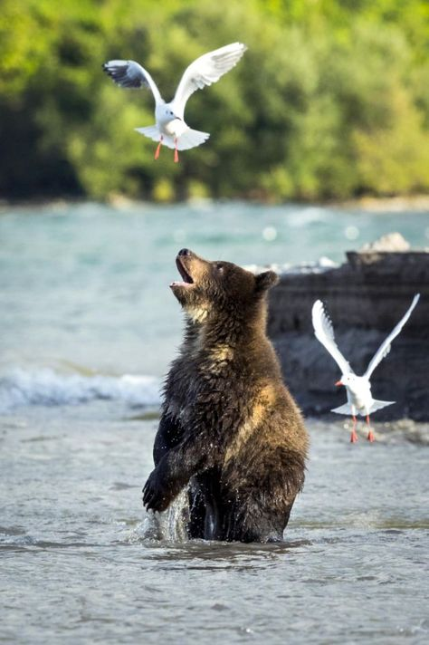 A bear plays with seagulls in Kurile Lake in Kamchatka, Russia. (Photo: Rosh Kumar/Caters News)