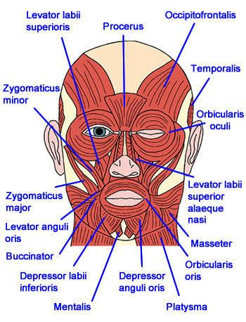 Unique Cheek Anatomy Diagram Collection - Anatomy And Physiology ...