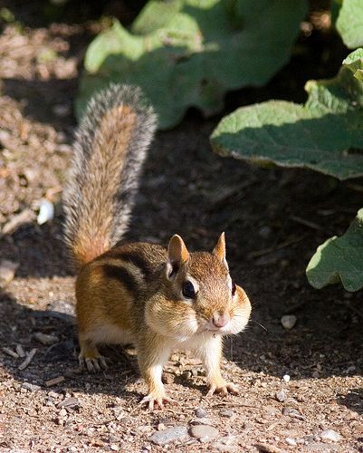 "dustyfleas: ""mairem: "" "" thereluctantoptimist: "" theenchantedcove: "" thanq: "" "" "" fairydream: "" Chipmunk with a mouthful of seeds (via Phil Armishaw) "" "" DF: Oh nuts! Amor Animal, Mundo Animal, Animals And Pets, Funny Animals, Cute Squirrel, Squirrels, Hamsters, Rodents, Little Critter"