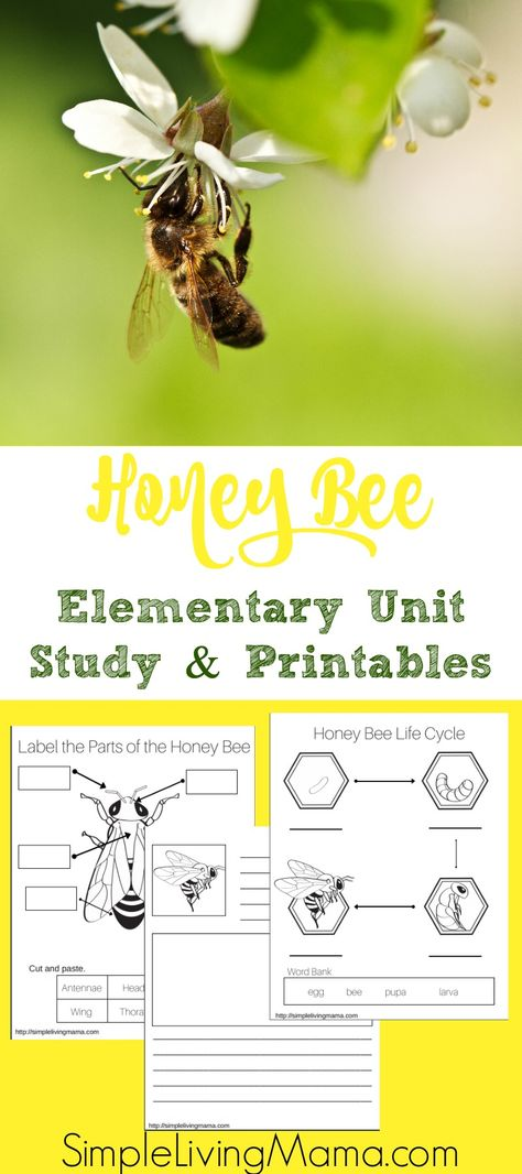 Honey Bee Unit Study + Printables If you are learning about honeybees, use this honeybee unit study to help you get ideas. Also find honeybee unit study printables. Bee Facts For Kids, Honey Bee Life Cycle, Bee Activities, Sequencing Activities, Science Worksheets, Science Curriculum, Homeschool Curriculum, Kindergarten Units, Adoption