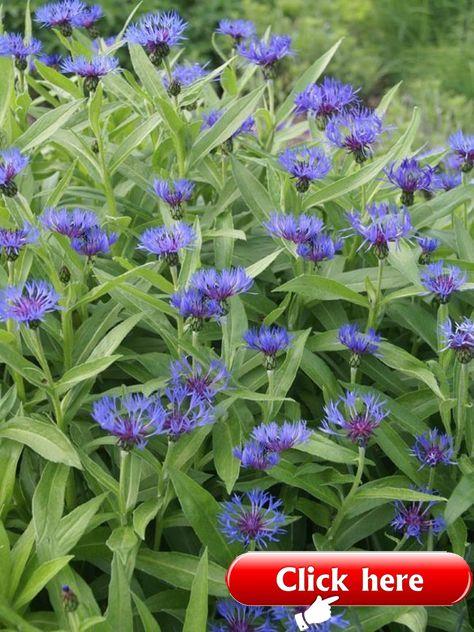 Centaurea Montana Perennial Bachelors Button Mountain Bluet Corn Flower Basket Flower 2019 The Post Centa With Images Flowers Perennials Flower Garden Plans Perennials