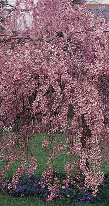 5ft Single Pink Weeping Cherry Blossom Tree 9l Pot Prunus Pendula Pendula Rubra 47 99 Types Of Soil Types Of Flowers Garden Soil