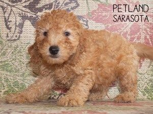 F2 Mini Goldendoodle Dog Female Red 2469584 Puppies For Sale