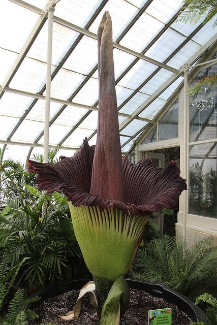 July 16 2013 Rare Smelly Corpse Flower About To Bloom