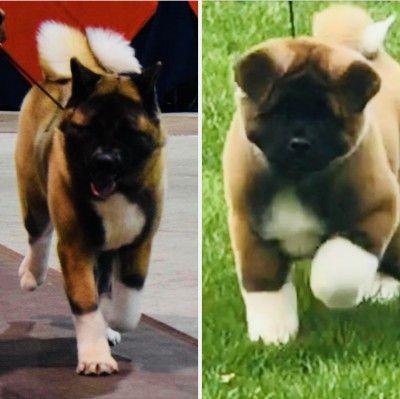 Apexx Akitas New Jersey Akita Breeder Cute Husky Puppies