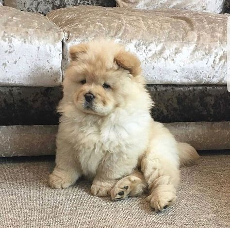 How cute is this baby Chow-Chow? Super Cute Puppies, Cute Baby Dogs, Cute Dogs And Puppies, Doggies, Fluffy Dogs, Fluffy Animals, Animals And Pets, Perros Chow Chow, Puppy Chow