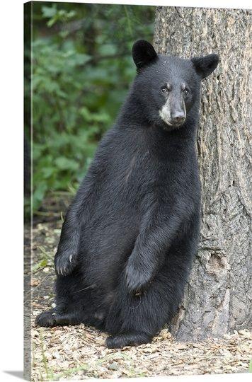 Black Bear (Ursus americanus) cub leaning against tree, Orr, Minnesota