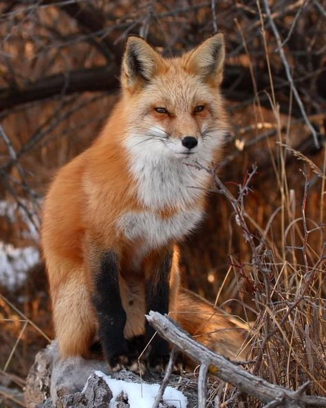 Red fox; photo by Max Allen  This looks like the fox that comes to visit.