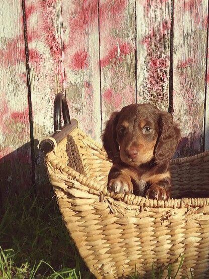 Sweet Barkley Long Hair Dachshund Puppy Dachsunds Dachshund