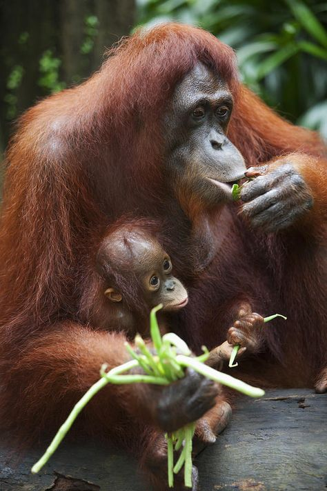 Deddeda Photography Premium Thick-Wrap Canvas Wall Art Print entitled A Mother Orangutan Eats Vegetables With Her Baby;