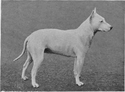 Miss Jaquet S Bull Terrier Champion Faultless Bullterrier
