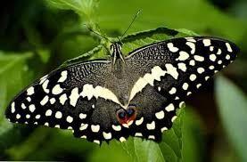 Schwarze Hexenmotte Schmetterling Schwarzer Schmetterling Motte