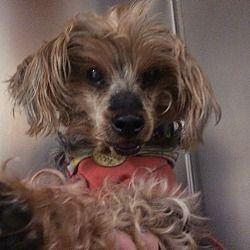 Oak Ridge New Jersey Yorkie Yorkshire Terrier Meet Rosie A For Adoption Https Www Adoptapet Yorkie Yorkshire Terrier Yorkshire Terrier Pitbull Terrier