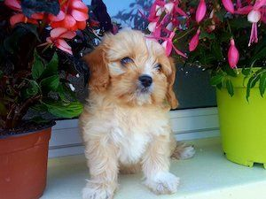 Beautiful Cavachon Puppies For Sale For Sale In Cork On My New Friend Beautiful Cavachon Cork Friend Puppies Cavachon Puppies Dogs For Sale Cavachon