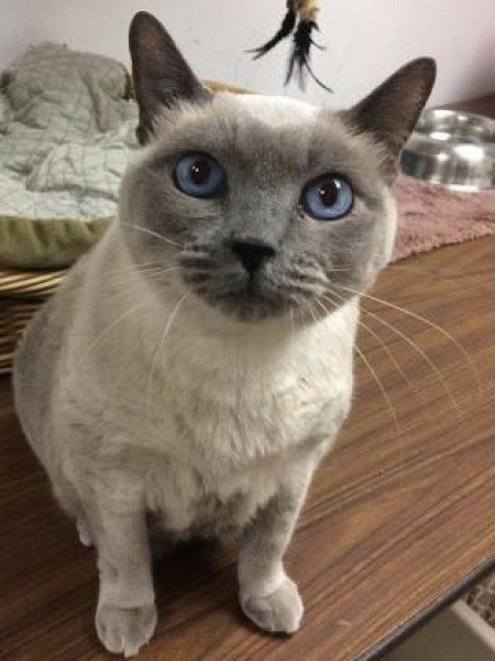 Harlowe Siamese Domestic Short Hair Cat For Adoption In Chicago Heights Illinois Cat Adoption Cats Siamese Cats