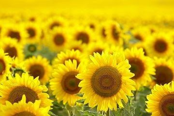 Gambar Bunga Matahari Dan Penjelasannya Dari Akar Hingga Kelopak Ini Berbagai Khasiat Bunga Matahari Download 10 Bagian Bagian Bu Di 2020 Bunga Gambar Bunga Ungu