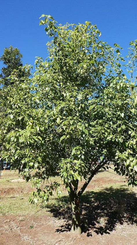 BRACHYCHITON acerifolius x populneus 'Bella Donna' grafted - Australian Native Tree – Emaho Trees