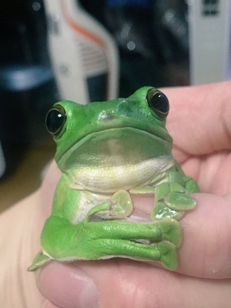 Cute Reptiles, Reptiles And Amphibians, Cute Baby Animals, Animals And Pets, Whites Tree Frog, Pet Frogs, Frog Art, Geckos, Bizarre