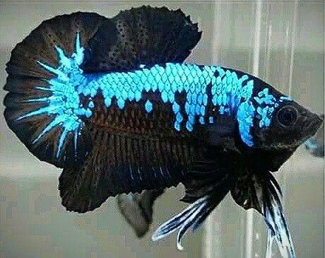 Pin By Abdul Razak Abdullah On Beauty Betta Fish Tank Betta Fish Types Betta Fish Betta fish wallpaper gif rosetail on