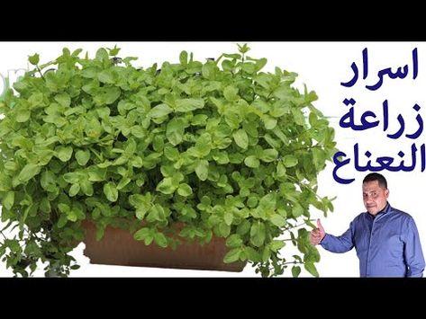 زراعة النعناع من عود نعناع بدون جذور اسهل طريقة لتسميد ورى ورعاية النعناع والنباتات Youtube Agriculture Plants Herbs