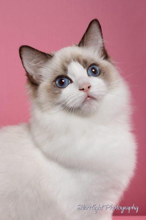 Seal Bicolor Kitten Mia Beautiful Cats Cute Cats Baby Cats