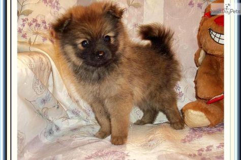 Beautiful Little Female Pomeranian Puppy Cute Pomeranian Puppies Pomeranian Puppy