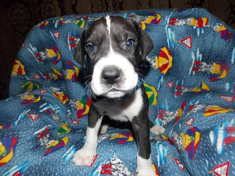 Ckc Great Dane Puppies For Sale In Adelanto California Hoobly