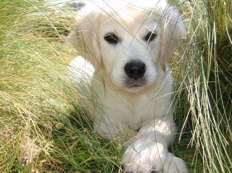 golden retrievers puppies images   Buying an English Cream Golden Retriever Puppy