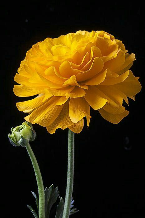 Yellow Ranunculus Mawar Kuning Bunga Menggambar Bunga