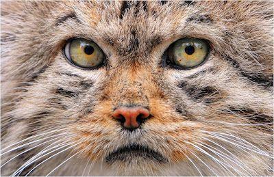 https://i.pinimg.com/474x/8a/ed/f5/8aedf5a8fda72a81f7b0ebe501197f92--cat-face-cat-eyes.jpg
