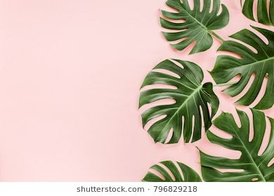 Tropical Leaves Monstera On Pink Background Flat Lay Top View