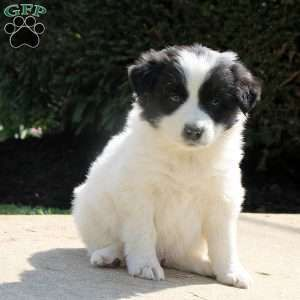 Home Puppies Greenfield Puppies Border Collie Puppies