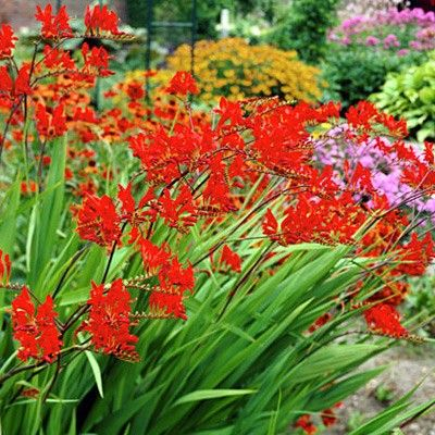 Crocosmia Lucifer Crocosmia 'Lucifer' blooms in summer with brilliant, hummingbird attracting scarlet flowers on arching scapes. Best in rich, moisture retentive soils, in full or partial sun.