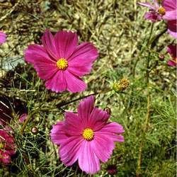 Cosmos Bipinnatus Flower Seeds Common Cosmos Garden Cosmos Price Per 1 Packet With Images Flower Seeds Seeds For Sale Tree Seeds