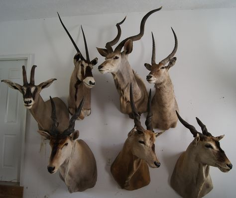 vintage african taxidermy