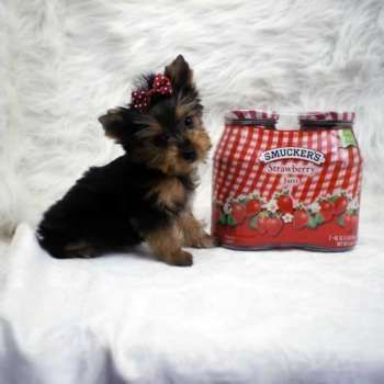 Tiny Yorkshire Terrier Puppy For Sale Yorkshireterrier