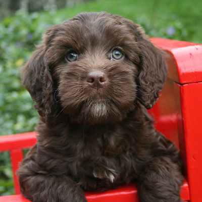 Check About Mini Labradoodle The Sweet Natured And Fun Loving Family Dog Pets Gator Labradoodle Puppy Chocolate Labradoodle Labradoodle Miniature