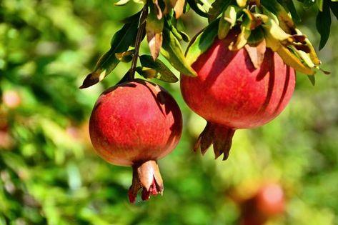 granatapfelbaum pflege