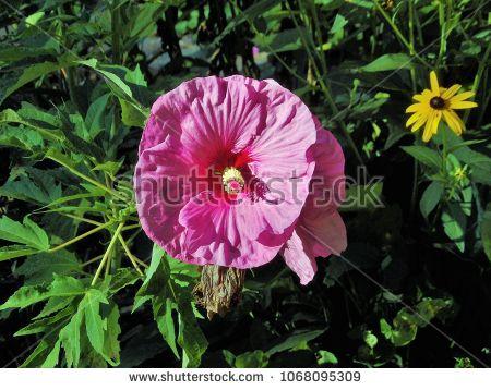 Plum Crazy Hibiscus Blooming In The Garden Featuring Deep Pink