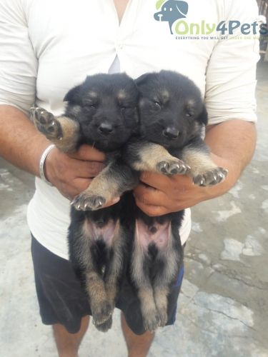 German Shepherd For Sale By Only4pets On Only4pets