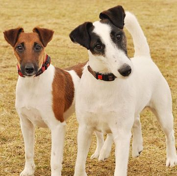Smooth Fox Terriers Adopt A Pet Fox Terrier Smooth Fox Terriers Fox Terrier Puppy