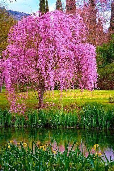 Picpublic On Twitter Beautiful Tree Flowering Trees Blossom Trees