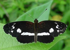 Gray Based Crescent Castilia Griseobasalis Veracruz Mexico Most Beautiful Butterfly Beautiful Butterflies Moth Caterpillar