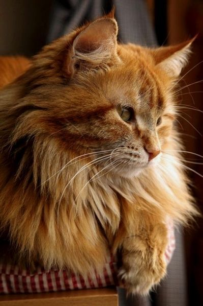Norwegian Forest Cat Orange Cats And Kittens Cat Cats Forest Kittens Norwegian Orange In 2020 Cats And Kittens Orange Cats Forest Cat