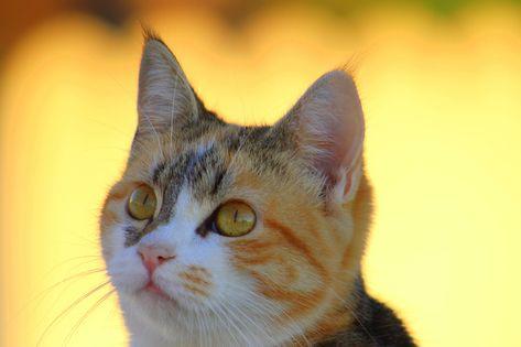 Free Image on Pixabay - Cat, Three-Colour Cat, Pet, Animal