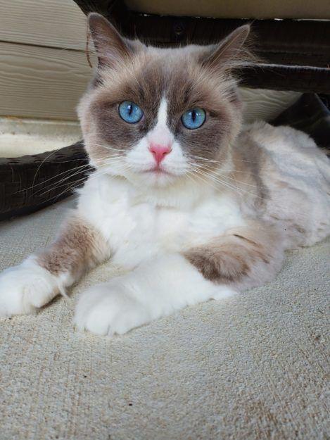 2013 Ikran A Zwollywood Cat 2 Weeks Old Ragdoll Kitten Seal