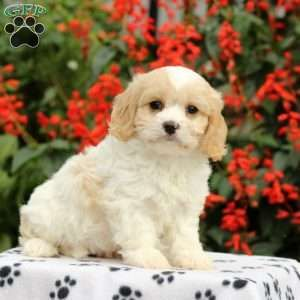 Cavachon Puppies For Sale Cavachon Dog Breed Greenfield Puppies Cavachon Puppies Cavachon Cavachon Dog